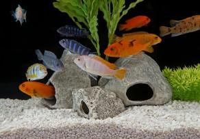Aquarium fische die arten ihre anspr che for Fische arten