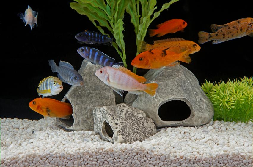 Aquarium fische die arten ihre anspr che for Fische aquarium