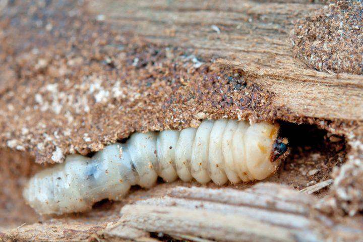 Holzwürmer identifizieren