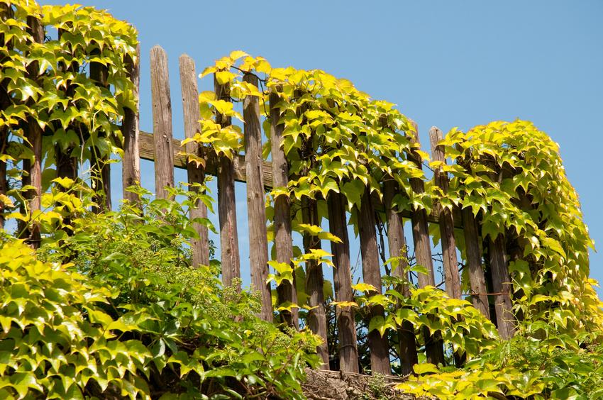 Schöne Kletterpflanzen holzzaun verschönern kreative ideen