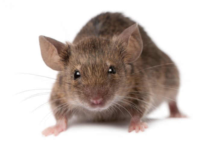 Mäuse im Rolladenkasten