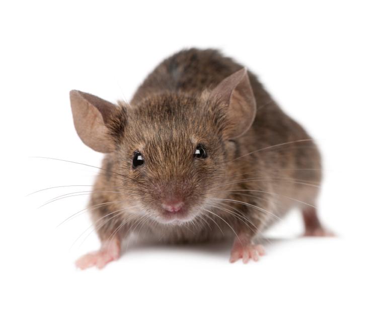 Können mäuse wände hochlaufen