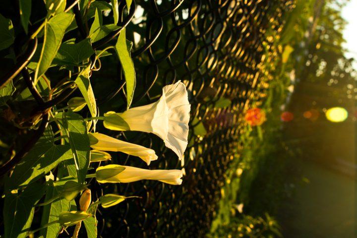 Maschendrahtzaun bepflanzen