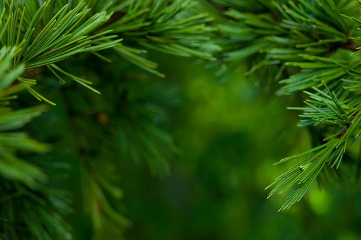 Tannenarten Weihnachtsbaum.Tannenbaum Wissenswertes Zu Den Nadeln