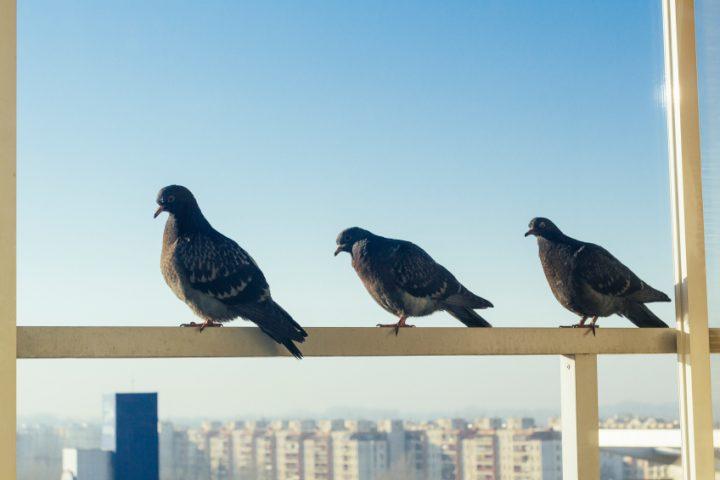Tauben Balkon