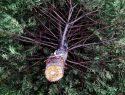 Tannenbaum Haltbarkeit