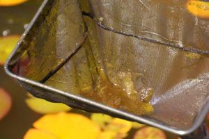 algen-im-teich-entfernen-ohne-chemie