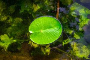 eichenholz-gegen-algen-im-teich