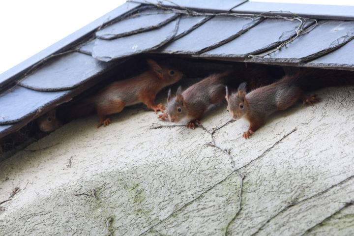 eichhoernchen-im-dach