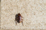 fliegende-kakerlaken-in-deutschland
