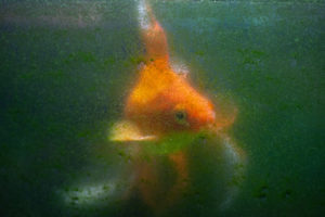hartnaeckige-algen-an-aquariumscheibe