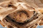 hornissennest-groesse