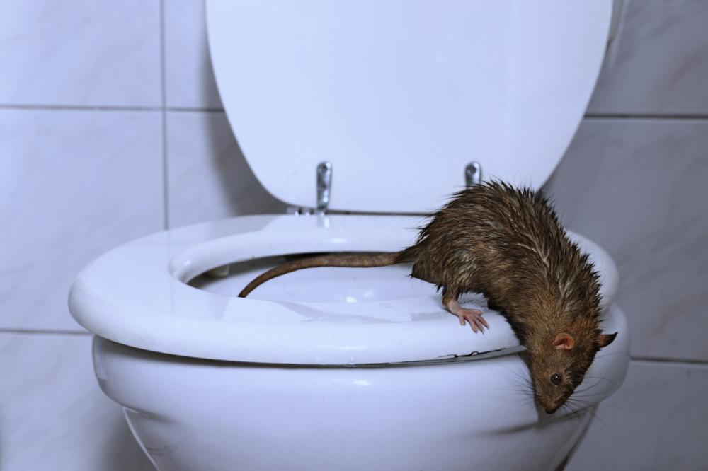 Können Mäuse Schwimmen