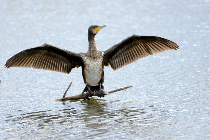 kormorane-vertreiben