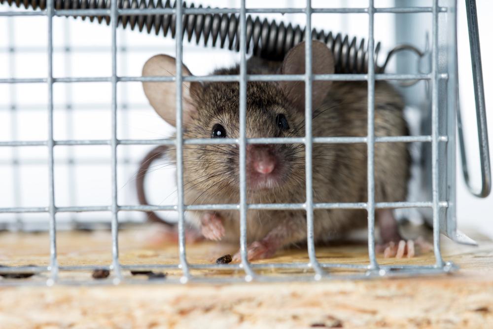 Mäuse Im Dach