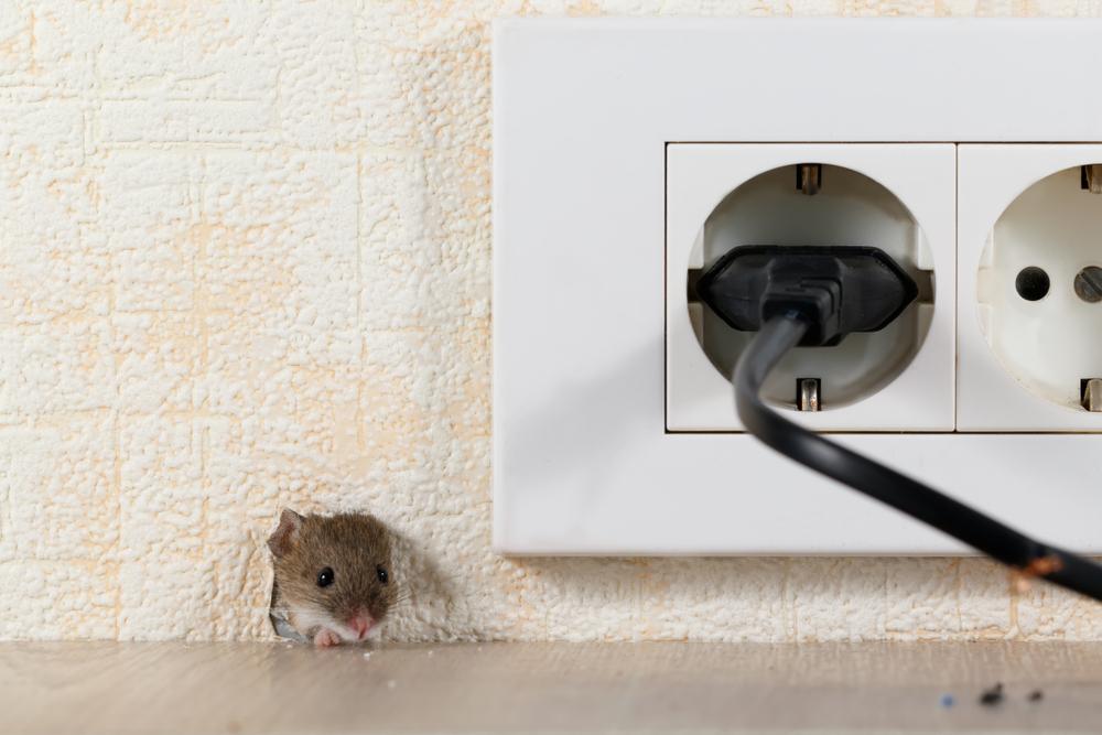 Maus In Der Wand