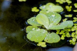 salat-gegen-algen