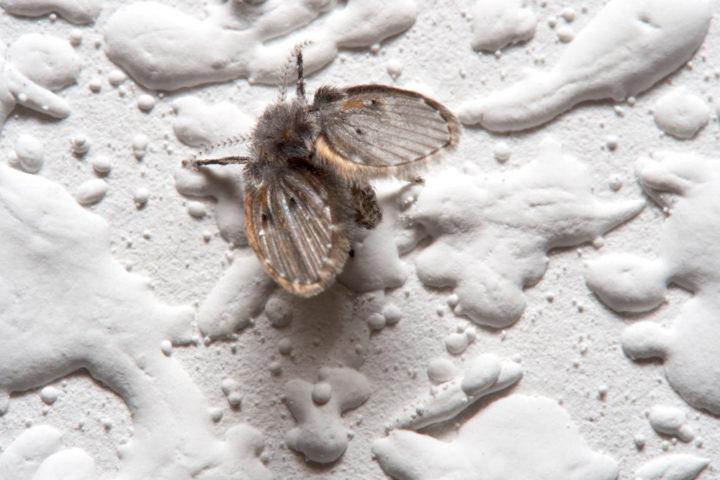 Schmetterlingsmücken bekämpfen » Die besten Mittel
