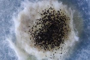 schwarzschimmel-gefaehrlich