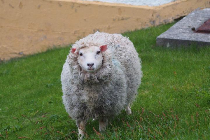 shetland-wolle-eigenschaften
