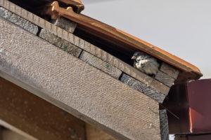 spatzenabwehr-dachziegel