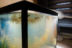 weisse-algen-im-aquarium