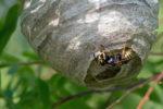 wespennest-erkennen