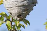wespennest-naturschutz