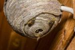 wespennest-wie-viele-wespen