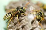 wie-entsteht-ein-wespennest