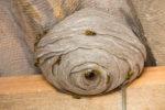woraus-besteht-ein-wespennest